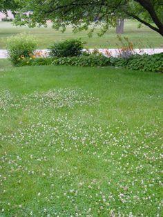 White Clover Landscaping Lawn Dutch Gr Alternative