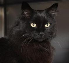 This looks like my old cat. Love black cats. Hope Teela finds a great home soon. Teela is an adoptable Turkish Angora Cat in Charlottesville, VA. Hello there, Teela here. I know my name is sort of strange, but if you like comics then you know who I am. I'm the warrior goddess from...