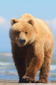 Grizzly Bear in summer.