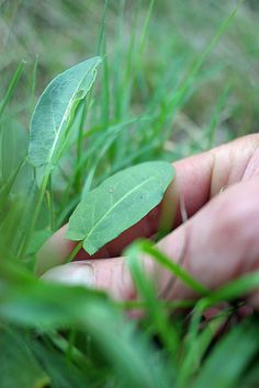 Bounty in your Backyard: A Brief Guide to Edible Weeds