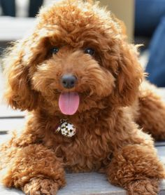 Toy Poodle Dog Picture same hair color as mine!