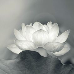 Translucent lotus flower