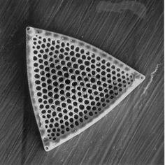 photo of a diatom