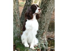 English Springer Spaniel Flag by Barbara Augello for Dogimage - Garden Size and Large Size
