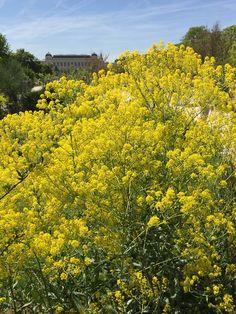 La floraison lumineuse du pastel des teinturiers dans le Jardin des Plantes http://www.pariscotejardin.fr/2016/05/la-floraison-lumineuse-du-pastel-des-teinturiers/