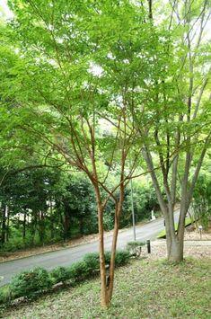 ヒメシャラ Indoor Garden, Home And Garden, Out Of This World, Shade Garden, Plant Decor, Trees To Plant, Gardening Tips, Countryside, Facade