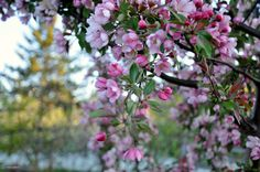 Pommetier en fleurs 2
