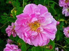 Rosenöl zählt zu der wertvollsten und teuersten ätherischen Ölen überhaupt. Es wird gewonnen aus den Blütenblättern der Ölrose (Rosa damascena). Die Blüten pflückt man in den frühen Morgenstunden. Die Ausbeute beträgt nur 0,02-0,03%. 1 Tonne Rosenblüten liefert max. 200-300 g Rosenöl.  Rosenöl wirkt: – wirkt beruhigend, krampflösend, blutstillend, leber-und milswirksam, entzündungshemmend – es kräftigt den gesamten Organismus – gezielt wirkt es bei Kopfschmerzen, depressiven Verstimmungen…