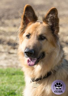 Kiera - CGSR - Central German Shepherd Rescue German Shepherd Rescue, United Kingdom, Corgi, Fur, Friends, Animals, Amigos, Corgis, Animales