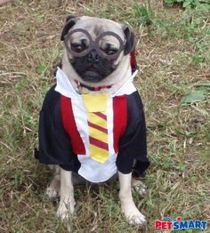 a pug wants to be harry potter for halloween