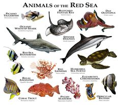 Fine art illustration of various species of marine animals native to the Red Sea