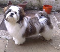Lhasa Apso dog closey related to wolves named Tarlie Cute Little Puppies, Cute Puppies, Dogs And Puppies, Lhasa Apso, Pet Dogs, Dog Cat, Doggies, Dog Haircuts, Lion Dog
