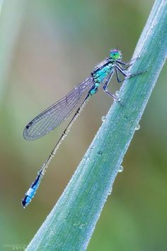 Photo Damigella by Alessandro De Luca* damselfly dragonfly Dragonfly Photos, Dragonfly Art, Dragonfly Tattoo, Beautiful Creatures, Animals Beautiful, Cute Animals, Flying Insects, Bugs And Insects, Beautiful Bugs