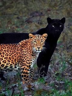 Fotógrafo compartilha clique raro de casal de leopardo e pantera negra