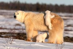http://www.fubiz.net/2015/01/05/amazing-polar-bears-by-david-jenkins/