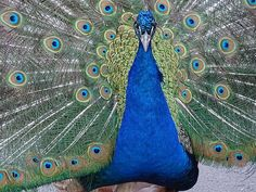 Peacock, Animals, Colors, Bird Peacock Images, Peacock Photos, Free Pictures, Free Photos, Free Images, Peacock Tail, Peacock Blue, Photo Colour, High Quality Images