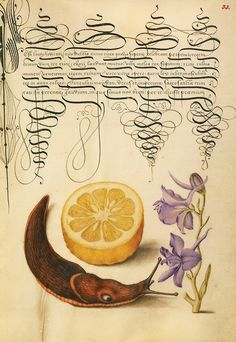 Sour Orange, Terrestrial Mollusk, and Larkspur. illuminator:  Joris Hoefnagel.  1591-1596. scribe:  Georg Bocskay.  1561-1562. Watercolors, gold and silver paint, and ink on parchment.