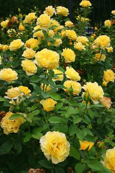 Beautiful Flowers Garden, Amazing Flowers, Beautiful Roses, Pretty Flowers, Beautiful Gardens, Ronsard Rose, Roses Only, Rose Garden Design, Coming Up Roses