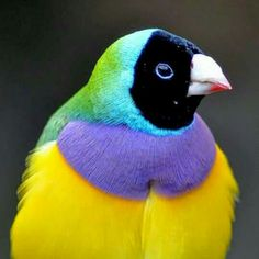 ENDANGERED IN THE WILD: The Gouldian finch