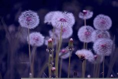 Dandelions grow where they want by Anastasia Ri on 500px