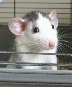 Dumbo rat i love them, they r a really good pet.