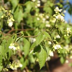 Invasive Species South Africa - Protecting Biodiversity from Invasion - Balloon vine Alien Plants, Invasive Plants, Perennials, South Africa, Vines, Cape, Balloons, Lavender, Environment