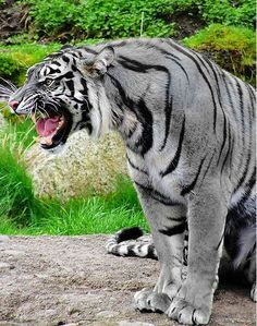 """The Maltese Tiger: Is considered to be a Tiger with a morphed coloration. Inhabits The Region of Fujian Province, China. Sightings of Maltese Tigers in Korea and Burma have also been reported. The term: """"Maltese"""" derives from a domestic cat that has slate grey fur; cats of this coloration are abundant in Malta: Therefore, this variation of Tiger has acquired its name."""
