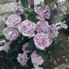 Light purple roses Purple Roses, Light Purple, Blossoms, Flower Arrangements, Lavender, Floral Wreath, Gardening, Wedding Ideas, God