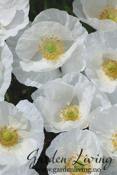 Kornvalmue er grasiøse og vakre sommerblomster. De har en lett og grasiøs vokseform og får hvite blomster. Kornvalmue er enkle å lykkes med og gir mye blomstring. En sjarmerende og romantisk sort.