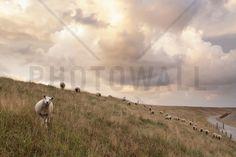 Attentive Sheep - Fototapeten & Tapeten - Photowall