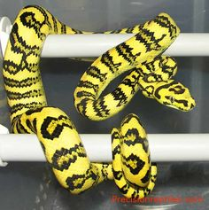 The Jaguar Jungle Carpet Python is my next Python that I want. I absolutely adore the snake, granted I am not a fan of the temper, but that could be fixed with time and attention.