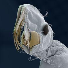 Real Monstrosities — A diving beetle larva and a phantom midge larva....