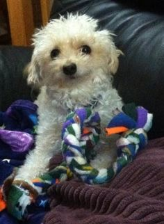 Annie the Rescued Teacup Poodle ...sweet story.
