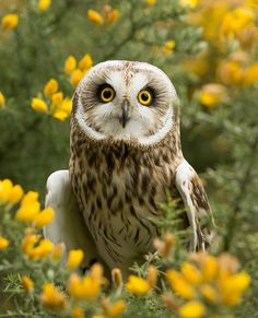 ~~Short-eared owl (Asio flammeus) by steven whitehead~~ Yea-I'm freakin gorgeous! Owl Photos, Owl Pictures, Beautiful Owl, Animals Beautiful, Beautiful Places, Nocturnal Birds, Short Eared Owl, Super Cute Animals, Owl Bird