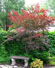 Japanese Maple seating area.