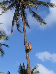 Samoan Tree Climber