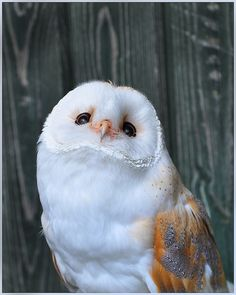 Barn Owl, by Ita Martin
