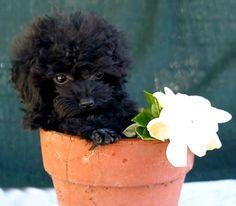 Sweet little poodle puppy!