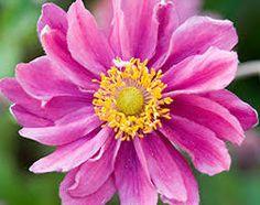 anemone 'Pamina' - Google Search