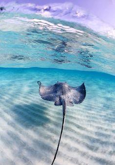 sea animals Rays are really majestic animals! - sea animals Rays are really majestic animals! Vida Animal, Mundo Animal, Underwater Creatures, Underwater Life, Wild Life, Beautiful Creatures, Animals Beautiful, Majestic Animals, Beautiful Ocean Pictures