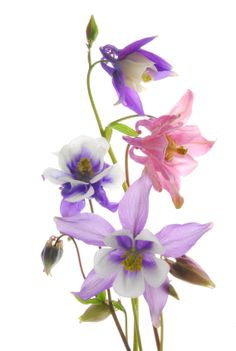 Columbine flowers are so pretty! And they are so easy to grow from seed!