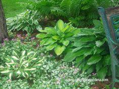 Shade Gardens - Ostrich Ferns, Hosta and Lamium