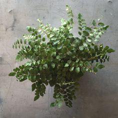 Houseplant - Button Fern