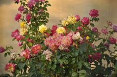 roseiras - Pesquisa Google