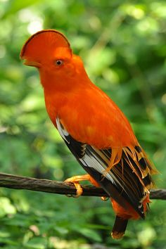 The Guianan Cock-of-the-rock, is a South American passerine about 30 cm (12 in) in length. The bright orange male has an extraordinary half-moon crest, which is used in competitive displays and to attract a female.