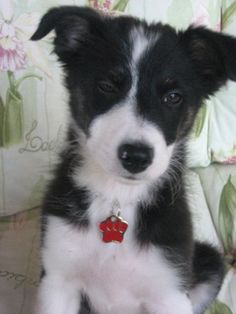 Amy,Border Collie