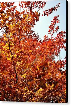 COPPER BEECH Canvas Print featuring the photograph Copper Beech by & copyright Richard Brookes.  DESCRIPTION: Sunlight through a copper beech tree canopy in a garden in North Devon, UK.