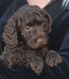 miniature chocolate labradoodle