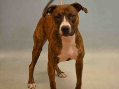 Urgent Manhattan - NAS - #A1089213 - NEUTERED MALE BR BRINDLE/WHITE PIT BULL MIX, 1 Yr 2 Mos - OWNER SUR - EVALUATE, NO HOLD Reason NO TIME - Intake 09/09/16 Due Out 09/12/16 -