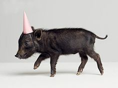 baby pig with a birthday hat!